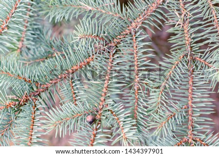 Fir tree branch close up. Spruce branches in the woods. Shallow focus. Fluffy fir tree branch close up. Christmas wallpaper concept. Copy space. #1434397901