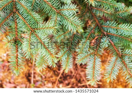 Fir tree branch close up. Spruce branches in the woods. Shallow focus. Fluffy fir tree branch close up. Christmas wallpaper concept. Copy space. #1435571024