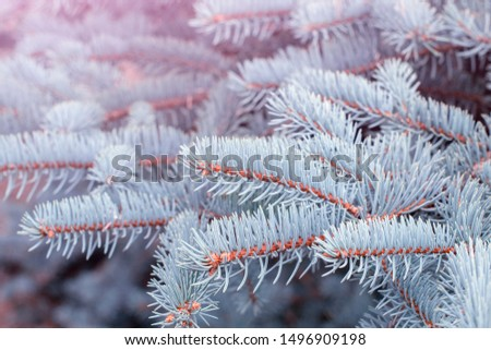 Fir tree branch close up. Spruce branches in the woods. Shallow focus. Fluffy fir tree branch close up. Christmas wallpaper concept. Copy space. #1496909198