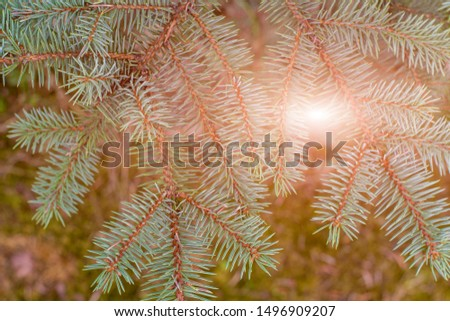 Fir tree branch close up. Spruce branches in the woods. Shallow focus. Fluffy fir tree branch close up. Christmas wallpaper concept. Copy space. #1496909207