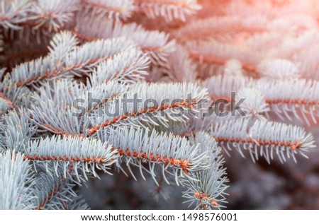 Fir tree branch close up. Spruce branches in the woods. Shallow focus. Fluffy fir tree branch close up. Christmas wallpaper concept. Copy space. #1498576001
