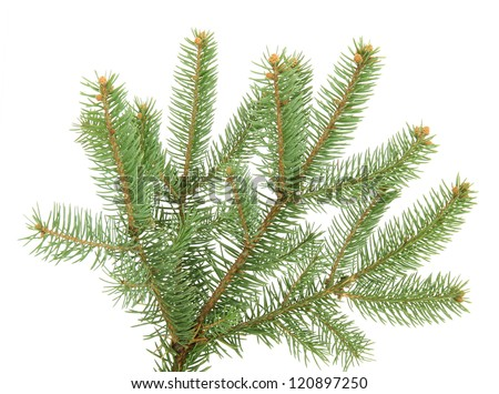 fir tree branch  isolated on Fir Tree Branch