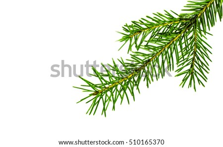 fir tree branch isolated on white #510165370