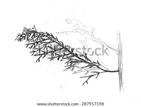 Fir tree branch. Monochrome black and white hand drawn sketch of nature.