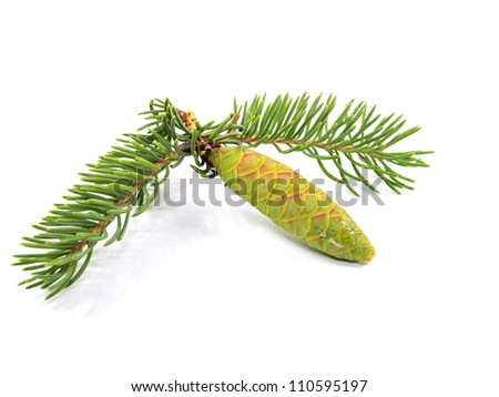 fir tree branch with green cones on a white background