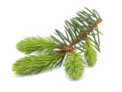 Fir tree branch with young sprout on a white background