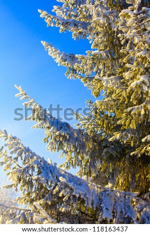 fir tree covered with frost