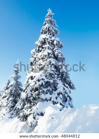 Fir-tree covered with show  under bright winter sunlight