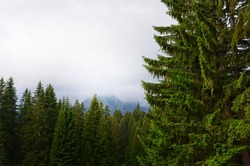 Fir-tree forest and mountains in fog