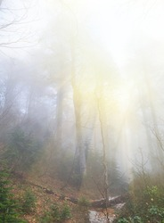 fir tree forest in a mist and light of sun