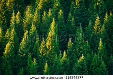 fir tree forest in morning time #116846377