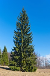 Fir-tree in park in sunny spring day