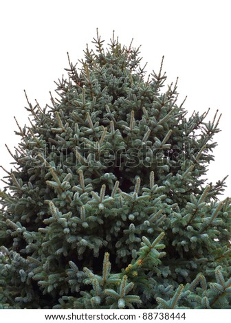 Fir tree isolated on white background