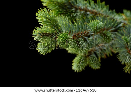fir-tree on the black background