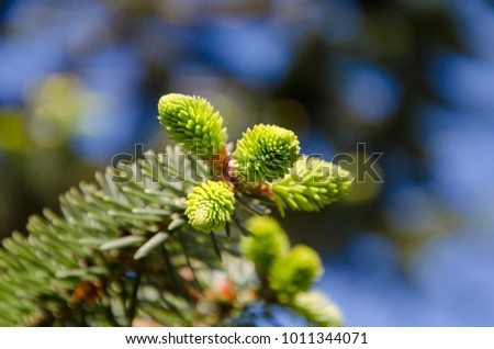 Fir tree or spruce buds. Young green sprouts fir tree needles & blue sky bokeh. Young growing fir tree sprouts on branch in spring forest. Fir tree young sprouts in sunlight on coniferous background