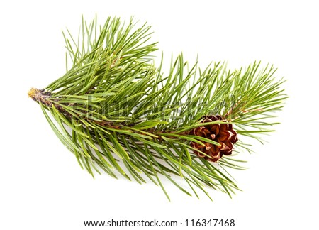 Fir-tree twig with pinecone