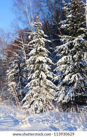 fir tree under snow in the forest