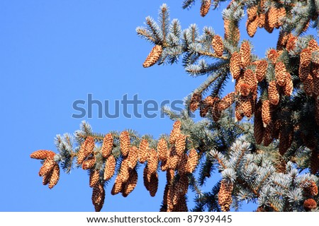 Fir-tree with many bumps over clear sky