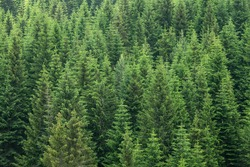 fir trees forest evergreen background
