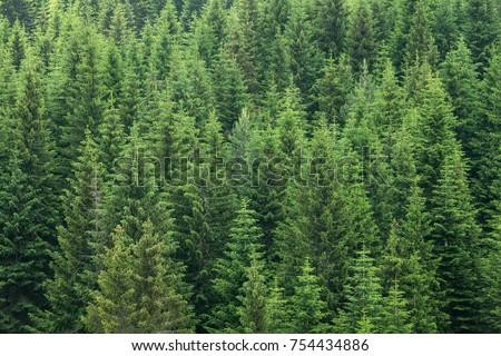 fir trees forest evergreen background #754434886