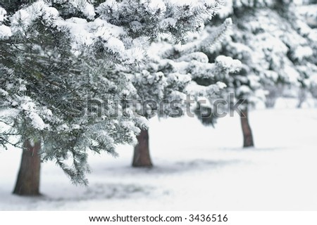 Fir Trees in City Park at Daytime