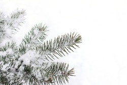 fir twigs after snowfall on snowy background / winter season