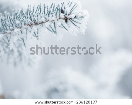fir twigs covered with hoarfrost, copy space #236120197