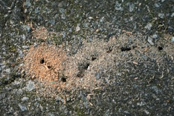 Fire ant hill on the asphalt floor, it's a tropical American ant that has a painful and sometimes dangerous sting, Spring in GA USA.