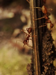Fire ants are several species of ants in the genus Solenopsis.