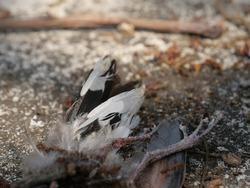 Fire ants eat a dead bird