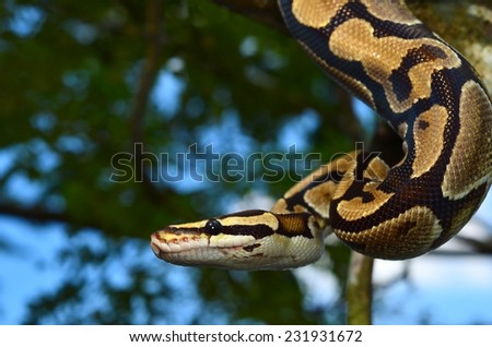 Shutterstock Fire Ball Python Snake wrapped around a branch