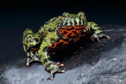 Fire-bellied toad / Bombina orientalis