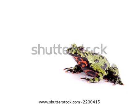 Fire bellied toad isolated against a white backdrop.
