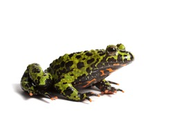 Fire bellied toad on white background