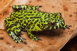 Fire Belly Toad, Bombina orientalis