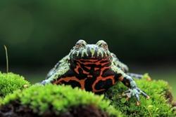 Fire belly toad closeup face on moss, animal closeup, Bombina orientalis