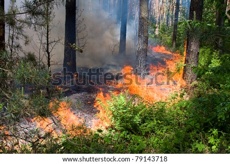 Fire burning in a pine forest .