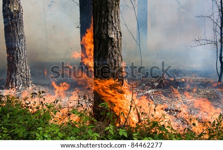 Fire burning in a pine forest - stock photo