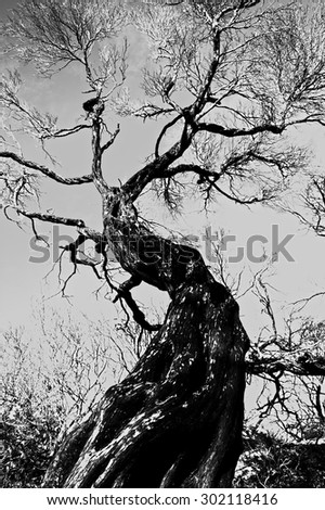 Fire damaged tree still standing a terrible bush fire. In black and white.