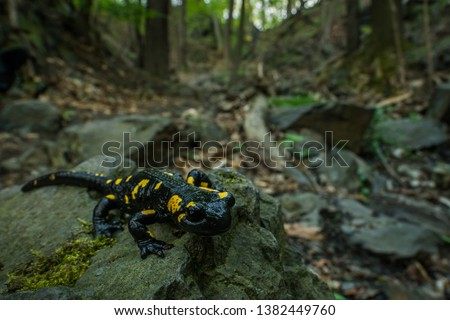Fire salamander in the natural environment, close up, wide macro, natural habitat, Salamander Salamander, Czech Republic