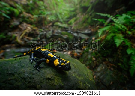 Fire salamander in the natural environment, natural habitat, wide macro lens, Salamandra salamandra, Czech Republic,