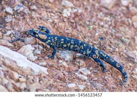 Fire Salamander Latin name: Salamandra salamandra
