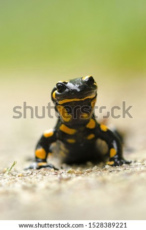 Fire salamander on a forest road