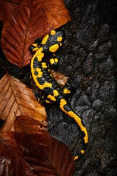 Fire salamander salamandra salamandra, poisoned amphibian. Wildlife scene from Czech Republic. Animals in natural environment.