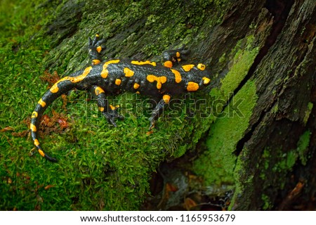 Fire Salamander, spotted amphibian on the tree trunk with green moss. Black animal with yellow spots. Animal in the forest habitat.