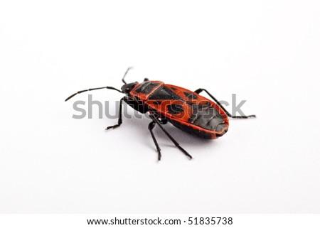 Firebug (Pyrrhocoris apterus), macro on white background