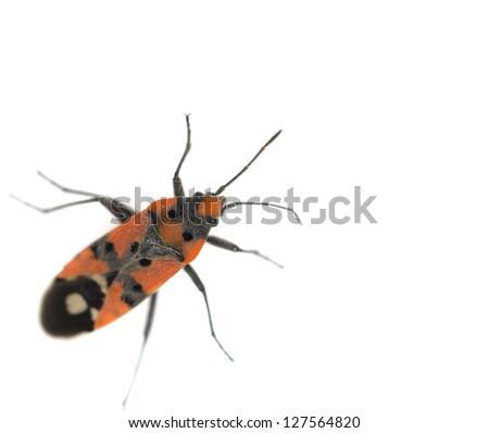 Firebug, Pyrrhocoris apterus on white background