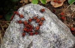 Firebugs, Colony of firebugs (Pyrrhocoris apterus) on a stone wall - mostly larvae of fifth, final larval instar and adults. Red insects. Soldiers. Beetles. Many bugs.