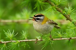Firecrest - Regulus ignicapilla small forest bird with the yellow crest singing in the dark forest, sitting on the larch branch, very small passerine bird in the kinglet family.