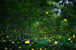 Firefly flying with yellow light over grass in the forest.